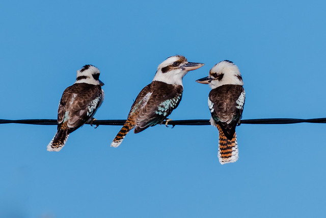 Laughing Kookaburras perched on a wire
