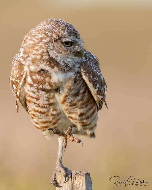 Burrowing Owl | Athene cunicularia | 2021 - 33