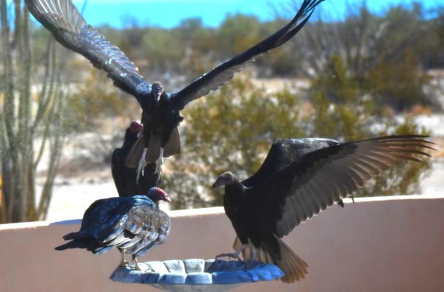 Vulture visit