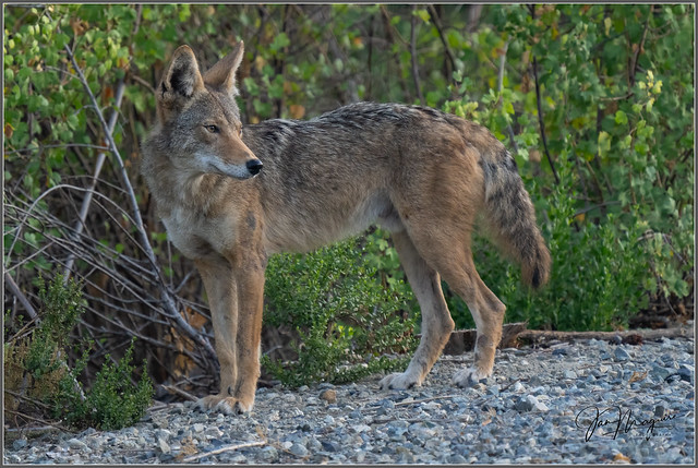 Young Urban Coyote 3852