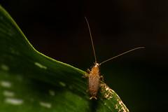 Ectobius vinzi/pallidus