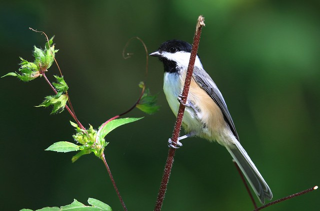 black-capped chickadee eating giant ragweed seeds by Vernon Springs IA 2K3A2199