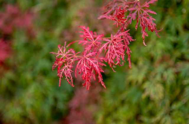 red maple's blush
