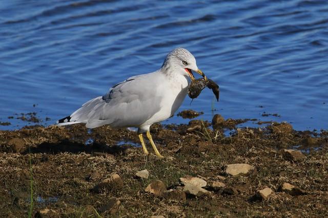 Ring-billed Gull /Goéland à bec cerclé ( Richard )