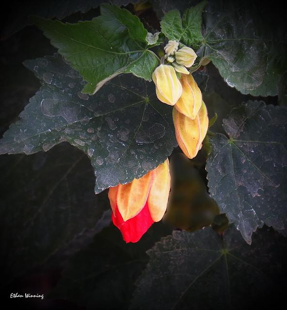 Geranium lucidum - Wild Cranesbill 5479