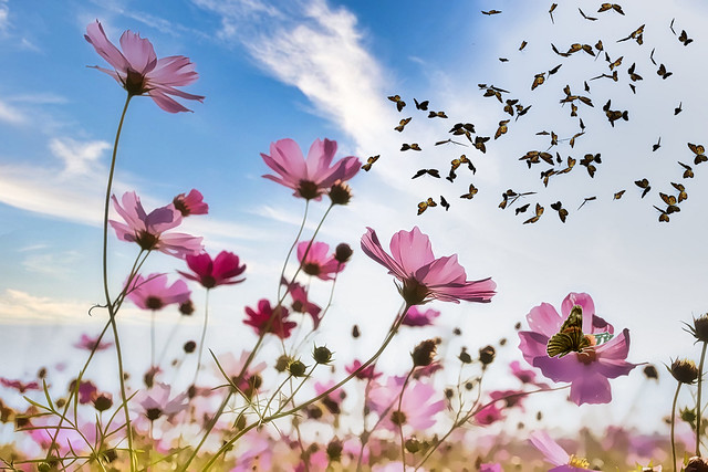 Field of Cosmos Flowers with Butterflies