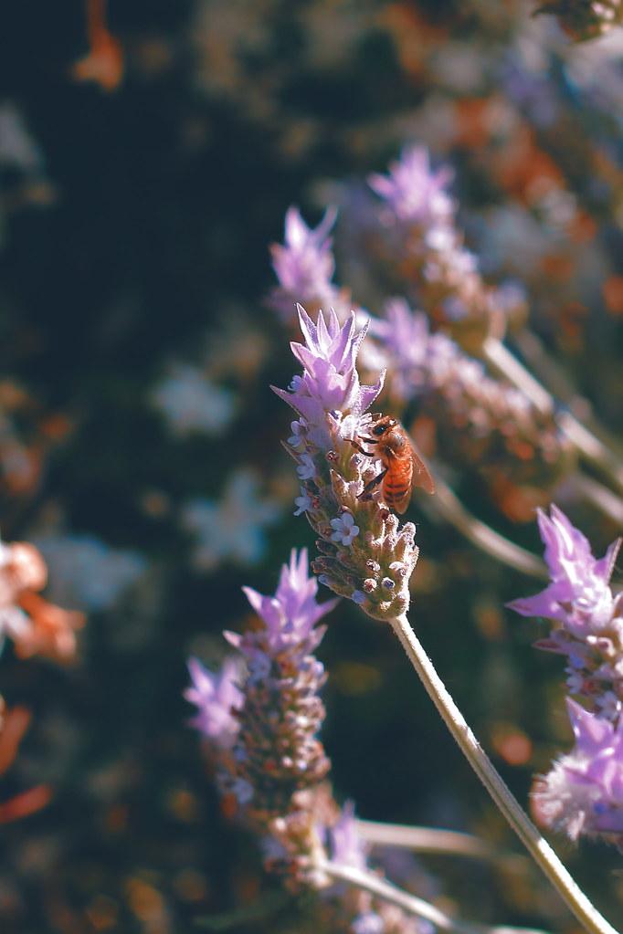 abeja en la lavanda - orange and teal