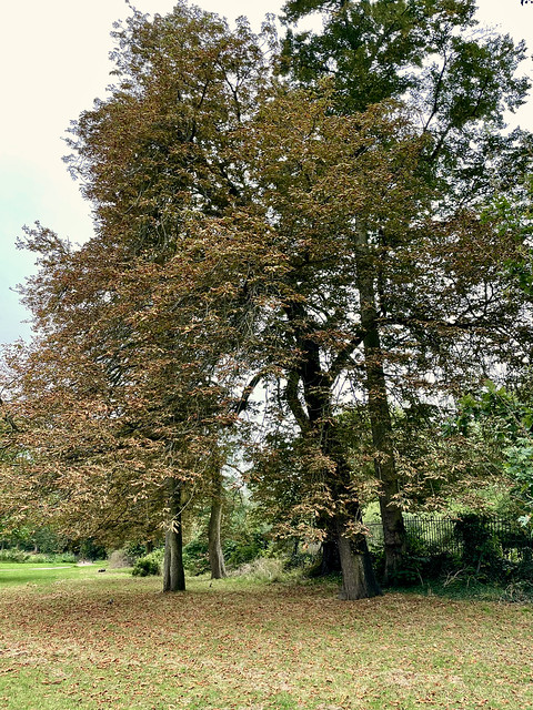 Horse Chestnut Trees...