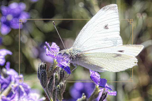 Beautiful Day fo White Butterfly to out and about.