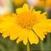 Yellow Gaillardia (II), 4.26.18