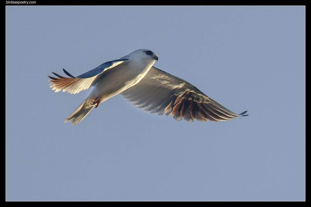 Black-shouldered Kite: First light Flight