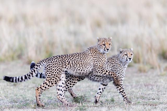 Guépard - Cheetah - Acinonyx jubatus