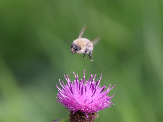 Wooly Bee