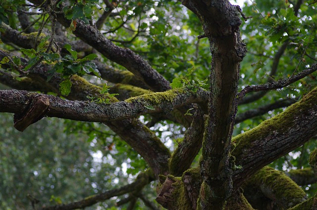 Ancient Oak Tree covered in moss and lichen...