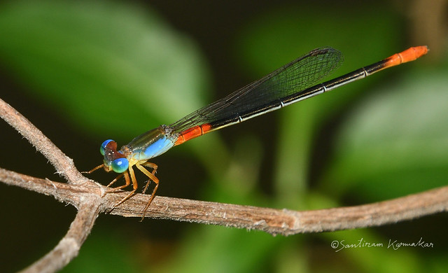 Colorful Damsel fly