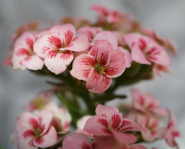Kalanchoe blossfeldiana bi-colour 'Pink & Red' at home.