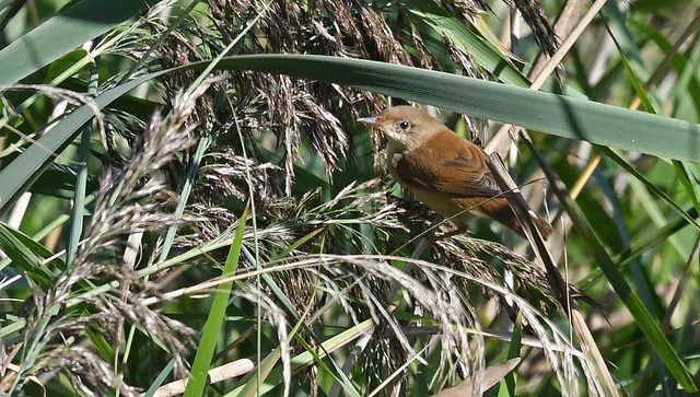 Cettis Warbler juvenile viewed from Kingfisher hide. ANR.
