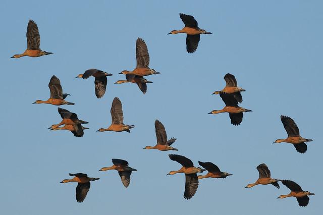 Wandering Whistling Ducks - McMinns Lagoon, Darwin Rural Area, Northern Territory, Australia
