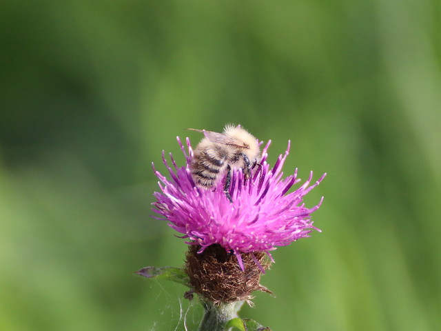 Carder Bee?