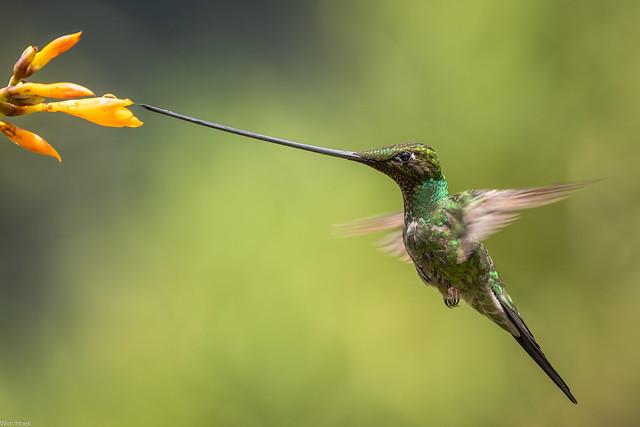 Sword-billed Hummingbird / Zwaardkolibrie