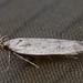 Palpenmotte, Gelechiidae indet.)
