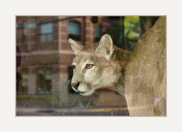 Puma in Bozeman