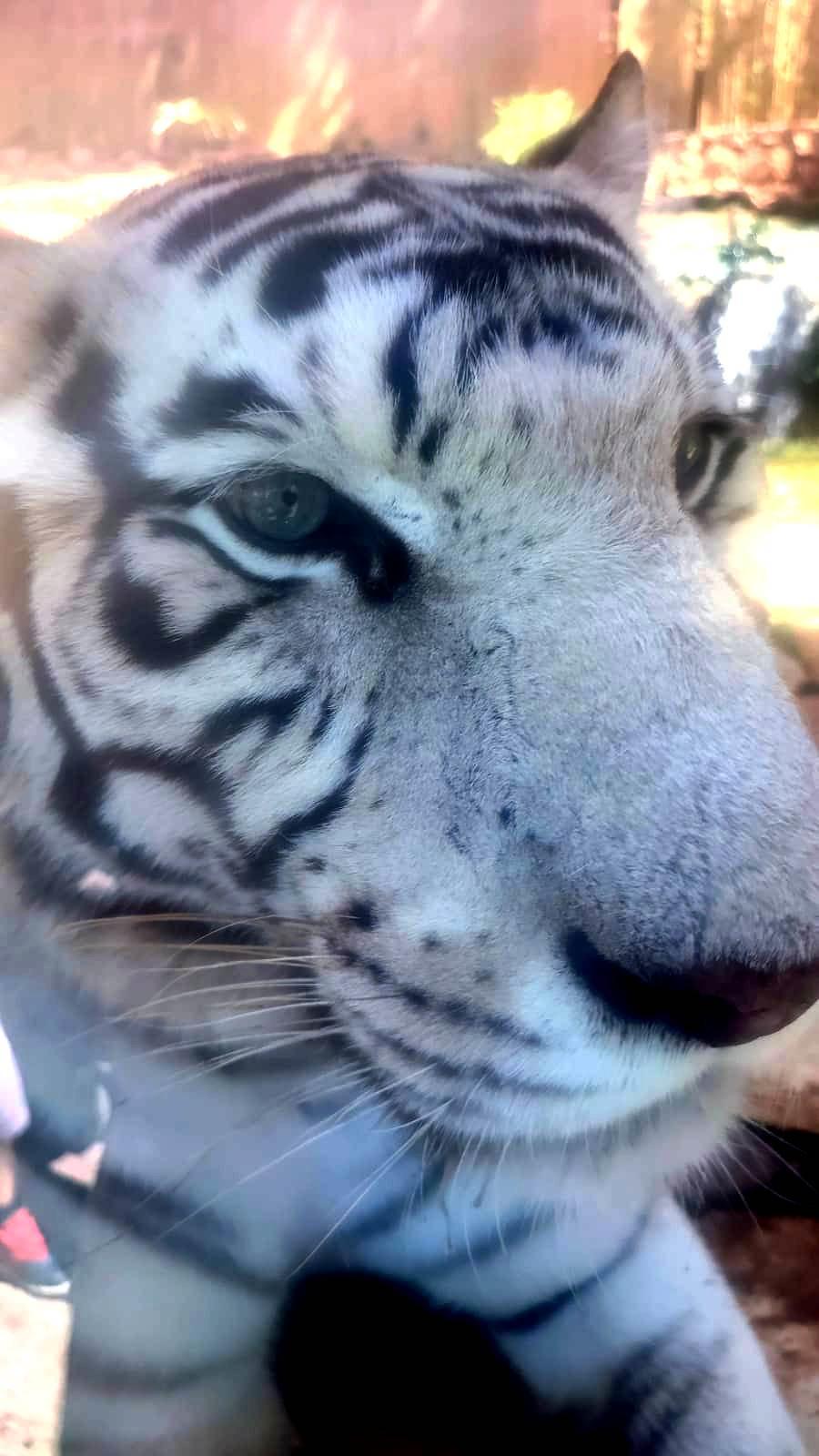 05. «Тигр, о тигр, светло горящий В глубине полночной чащи»