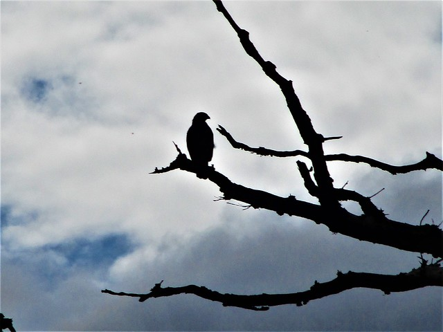 Buzzard in a tree