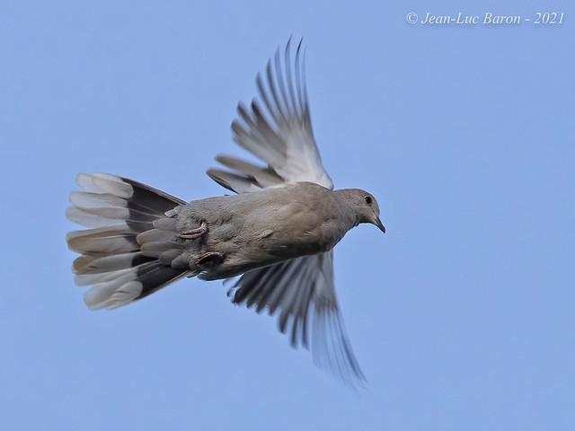 Eurasian Collared-Dove (Steptopelia decaocto)