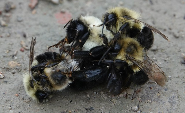 A bundle of Bumble Bees, Toronto