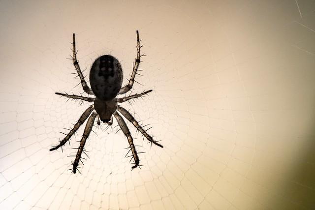 Back-lit spider