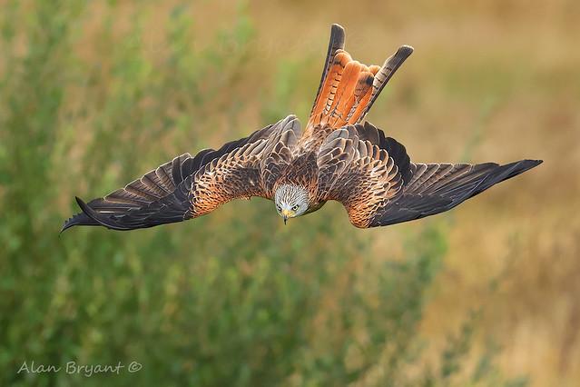 Red Kite img4