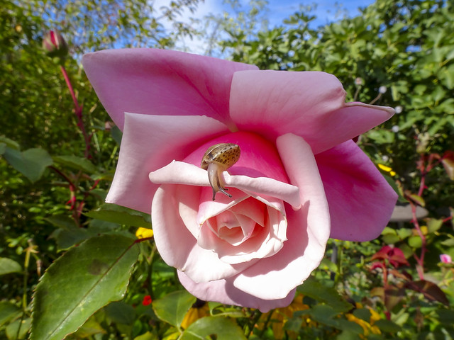 Snail on pink rose