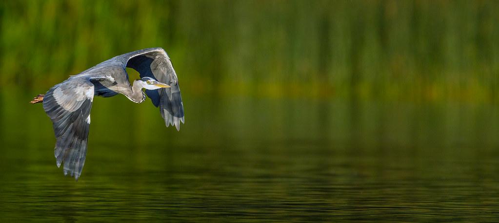 Heron-BiF-Best-Lp1-crop