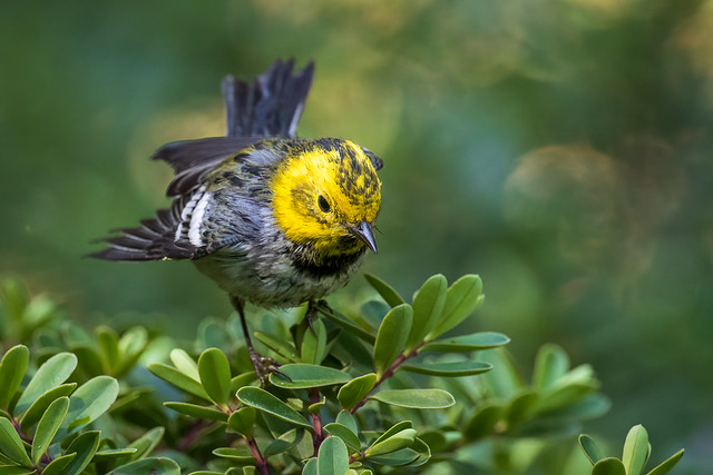 Hermit x Townsend's Warbler (Hybrid)