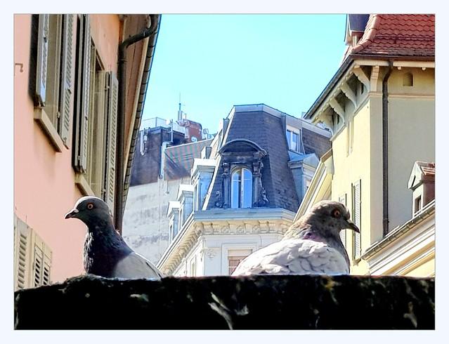 pigeons in their bath