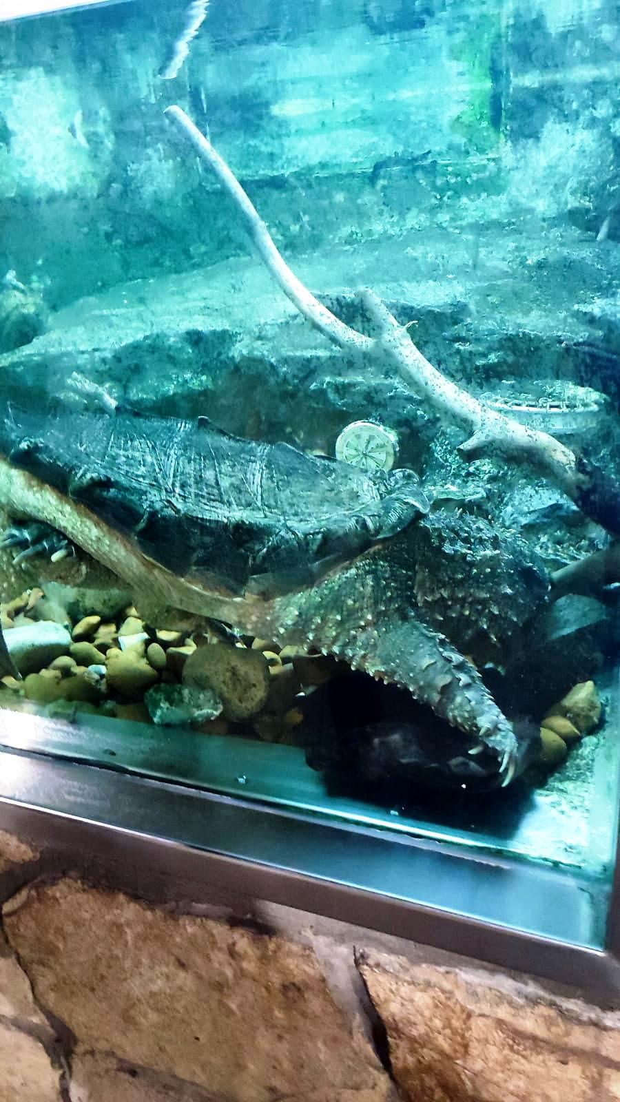 10. Охотится на рыбу черепаха замечательным образом. Она неподвижно лежит на дне, полузарывшись в ил, и, широко разинув пасть, высовывает тонкий червеобразный кончик языка, окрашенный в ярко-розовый цвет. Извивающийся «червяк» служит прекрасной приманкой