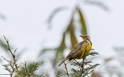 Yellow-throated longclaw - Macronyx croceus - Geelkeellangklauw