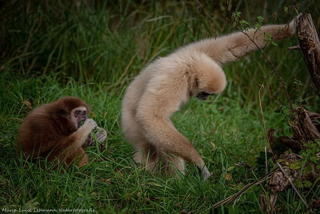Neu eingezogene Gibbon Dame Maya Zoo Salzburg