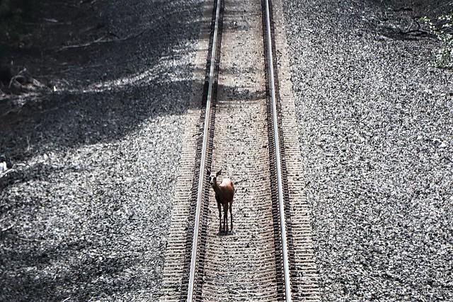 Deer on The Tracks Near Index Washington