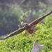 immature Brahminy Kite taking off