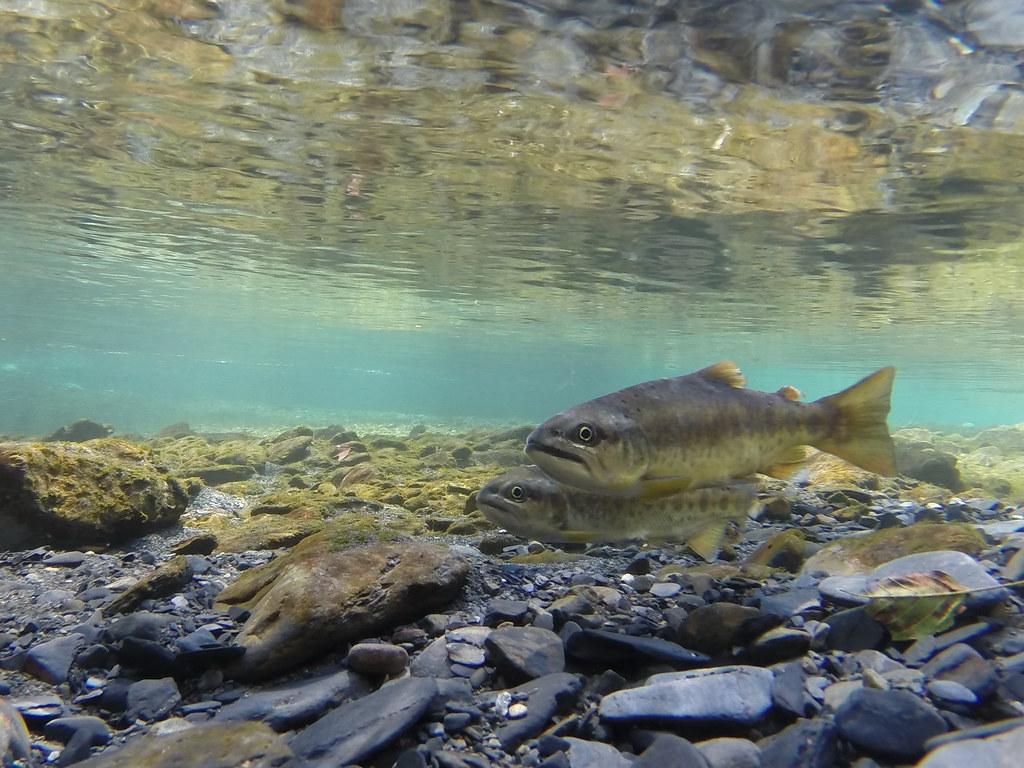 櫻花鉤吻鮭。慈心基金會提供