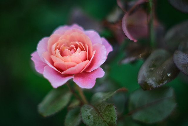pink and beige rose