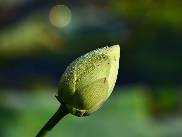 closed water lily