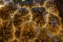 Freshwater Bryozoan on the Olympic Peninsula