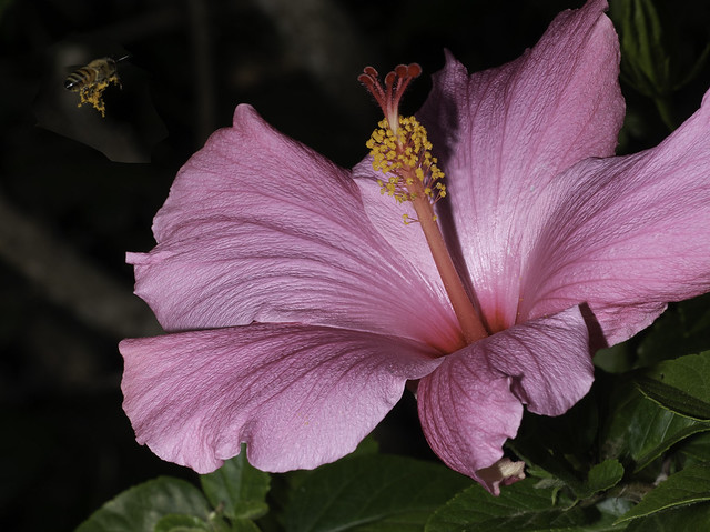 The Pollinator And The Pink Hibiscus