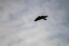 Australian Raven silhouetted in the late afternoon sky