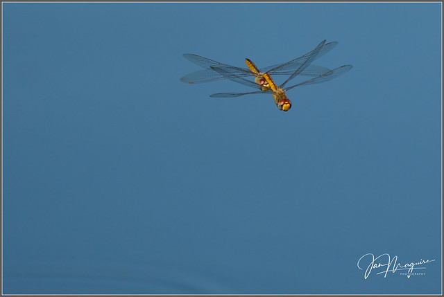 Dragonfly Duo 7264