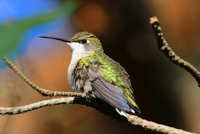 ruby-throated hummingbird female at Lake Meyer Park IA 2K3A2231
