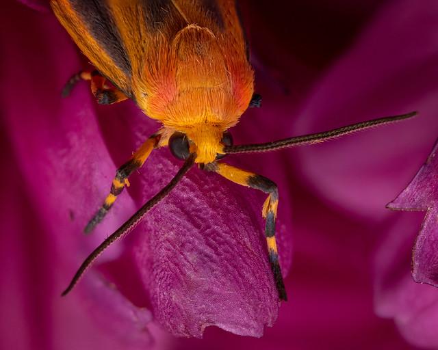 Cool Orange Moth